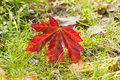 Red maple leaf on ground large wet in autumn Royalty Free Stock Images