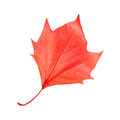 Red maple leaf a isolated on pure white background Stock Photos