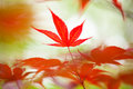 Red maple leaf japanese in a garden Stock Image