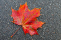 Red maple leaf lays on dark asphalt road macro photo Stock Photography