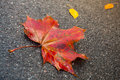 Red maple leaf lays on dark asphalt road macro photo with selective focus Royalty Free Stock Photography