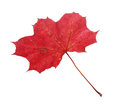 Red maple leaf one fallen acer platanoides isolated on white backgrund Royalty Free Stock Images