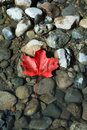 Red maple leaf on stones in water Royalty Free Stock Photo