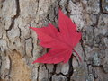 Red maple leaf a on tree bark Stock Photo