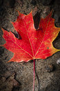 Red maple leaf in water one fall floating shallow lake with sandy bottom Stock Photography