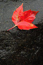 Red maple leaf on wet rock in the fall Royalty Free Stock Photography