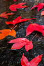Red Maple leafs Royalty Free Stock Photo
