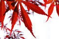 Red maple Leave Royalty Free Stock Photography