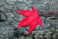 Red maple leave on black burnt wood Royalty Free Stock Photo