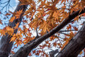 The red maple leave in Japan Royalty Free Stock Photo