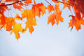 Red maple leaves in autumn season Royalty Free Stock Image