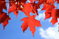 Red maple leaves on a blue background Stock Image