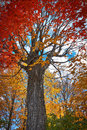 Red Maple Tree In Autumn