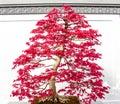 Red Maple tree bonsai Royalty Free Stock Photo