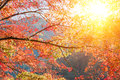 Red maple tree in forest in fall, Beautiful autumn background. Royalty Free Stock Photo