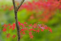 Red maple tree leaves Stock Images