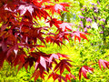 Red Maple tree leaves in spring Royalty Free Stock Photo