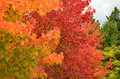 Red maples in autumn italy Stock Photo