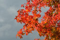 Red maples in autumn italy Royalty Free Stock Image
