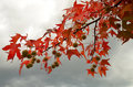 Red maples in autumn in tuscany italy Stock Photo