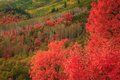 Red maples in the wasatch mountains stunning usa Stock Photo
