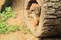 Red meerkat in the shelter k Royalty Free Stock Photography
