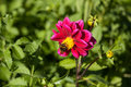 Red mignon dahlia flower with bumblebee gather pollen from during bright sunny day in meadow Stock Photo