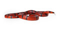 Red milk snake curled up a large hungarian and looking to the side Royalty Free Stock Photo