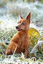 Red Miniature Pinscher Stock Image