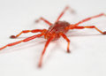 Red mite Royalty Free Stock Photos