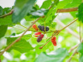 Red Mulberry And Black Mulberry