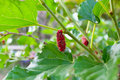 Red mulberry on branch Royalty Free Stock Photo