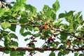 Red mulberry fruit in farm Royalty Free Stock Photo
