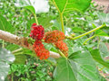 Red mulberry is sour fruit Royalty Free Stock Photo