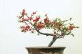 Red Mume Flower
