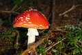 Red mushroom in forest Royalty Free Stock Photo