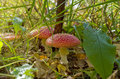 Red mushroom in the grass. Royalty Free Stock Photo