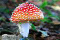 A red mushroom in the wild Royalty Free Stock Images