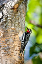 Red Naped Sapsucker Stock Photography