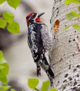 Red naped sapsucker a medium sized woodpecker that resides in mixed forests of the rocky mountains and great basin areas of north Royalty Free Stock Photo