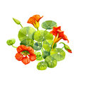Red nasturtium flowers and leaves painted with watercolor