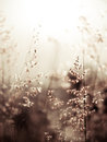 Red natal grass (shallow dof abstract background, warm colors, p Royalty Free Stock Photo