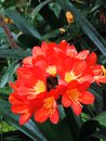 Picture : Red natal lily or Clivia miniata in the botanical garden, green background
