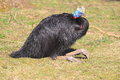 Red-necked cassowary Royalty Free Stock Photo