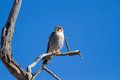 Red necked falcon sinning on dead branch a searching for food with blue sky Royalty Free Stock Photos