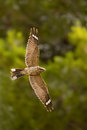 Red necked Nightjar in flight Royalty Free Stock Photo