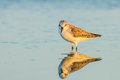 Red necked stint calidris ruficollis act in evening light with her shadow Stock Image