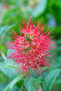 Red needle flower Royalty Free Stock Photo