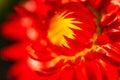 Red Nice Flower
