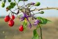 Red nightshade (Solanum dulcamara)